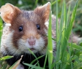 The temperament of hamsters