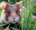 Le tempérament des hamsters