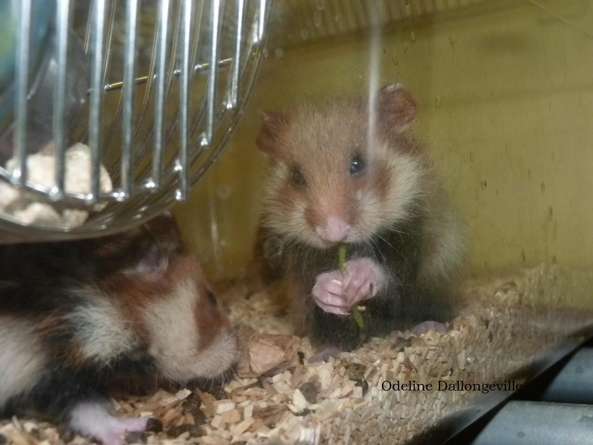 Femelle avec ses jeunes mangeant du trèfle