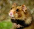 Paysan du Haut-Rhin report on the European hamster