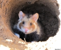 3 July 2014: partial freedom for 8 hamsters from the CNRS breeding unit (DEPE-IPHC)