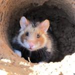 Femelle le jour du lâcher dans un enclos extérieur (CNRS)