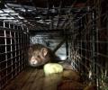 Hier unser erster eingefangener Junghamster: 136 g mit einem süßen Gesichtchen!