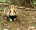 Alsaciens et Grand hamster, l'enquête ACTeon dans les grandes lignes