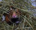 Quelles sont les meilleurs graines pour l'hibernation et la reproduction du Grand hamster ?