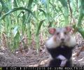 Le régime du Grand hamster