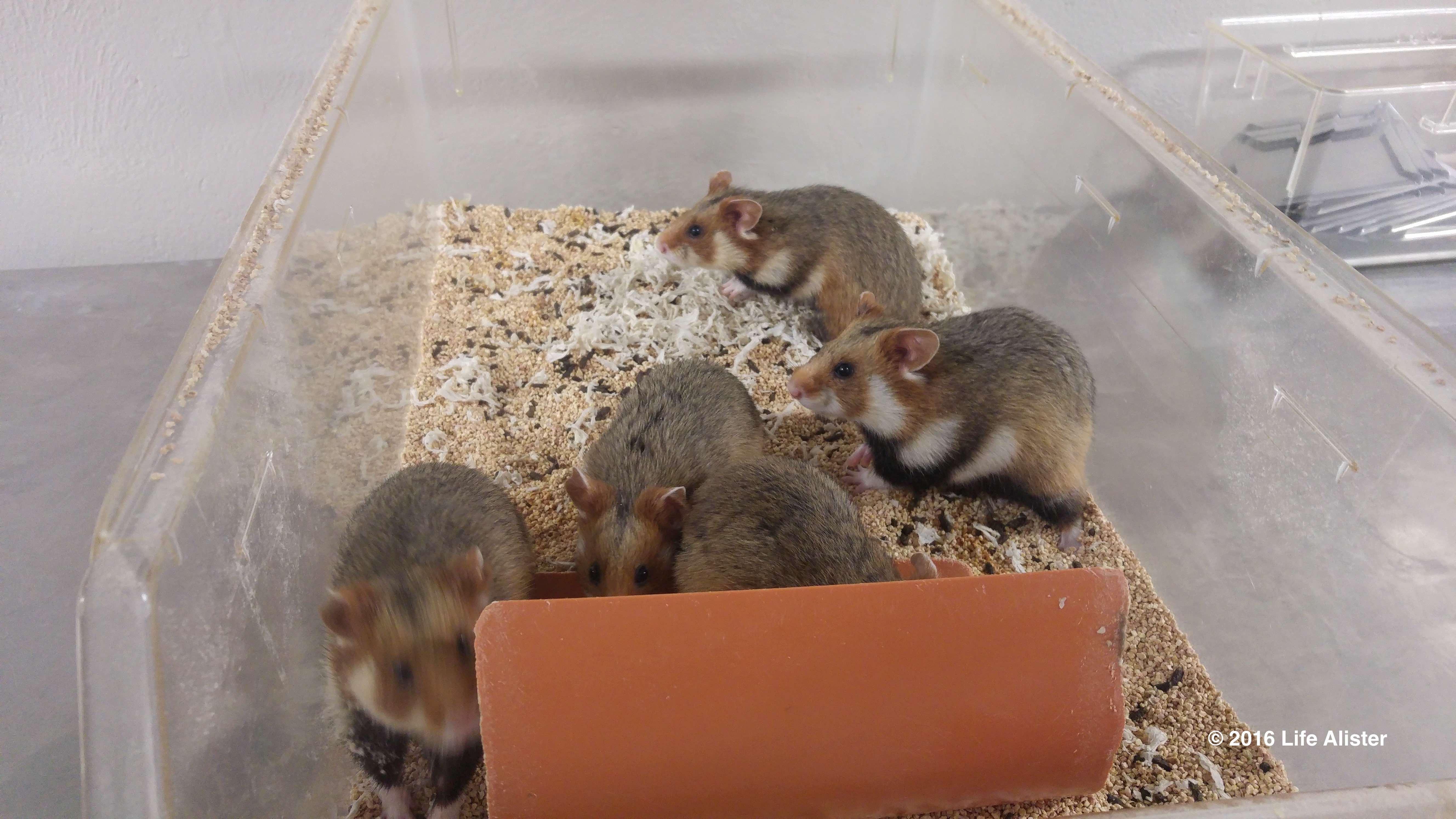 Grand hamster - jeunes(1)