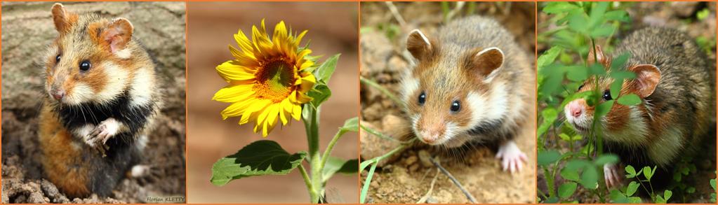 fleurs-hamster