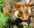 Semer plusieurs cultures est bénéfique pour la biodiversité et favorise la reproduction du Grand hamster