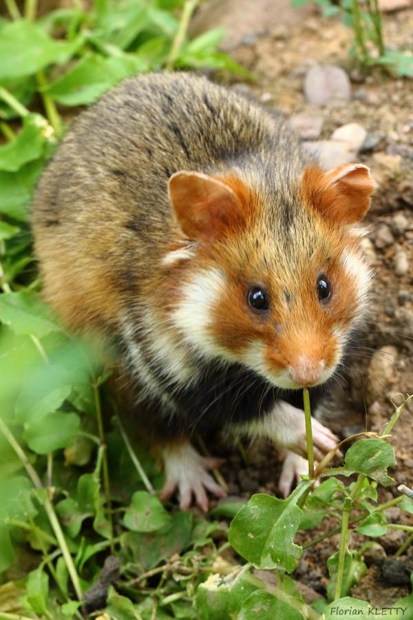 hamster-mangean-des-adventices