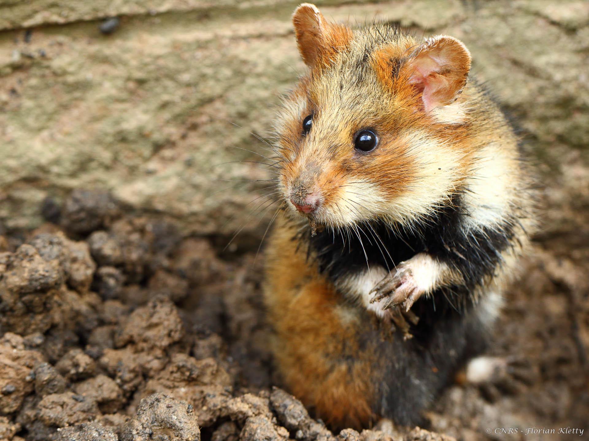 hamster-debout
