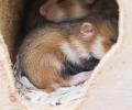 Sauvegarde du Grand hamster : la continuité dans la recherche