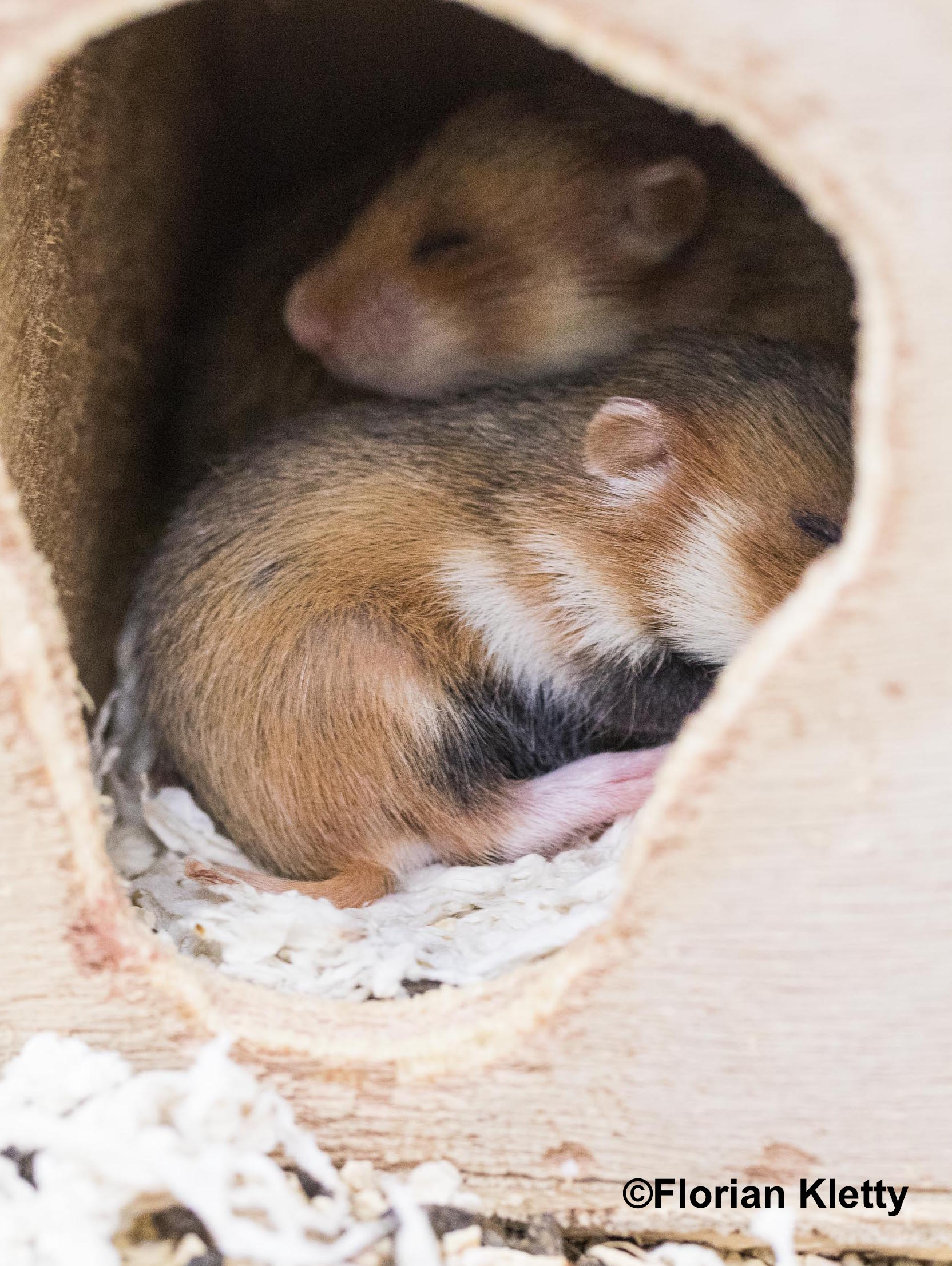 Alimentation Hamster saving the european hamster: on-going research - life+