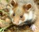 Le Grand hamster au centre d'une action globale en faveur de la petite faune de plaine