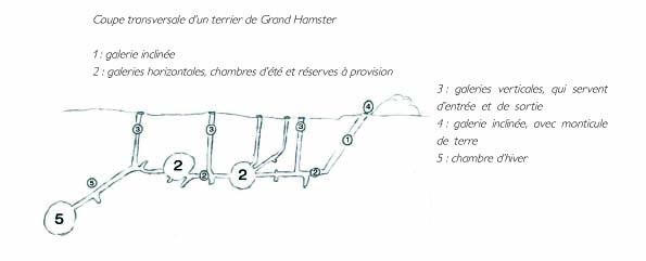 Terrier de hamster (coupe)