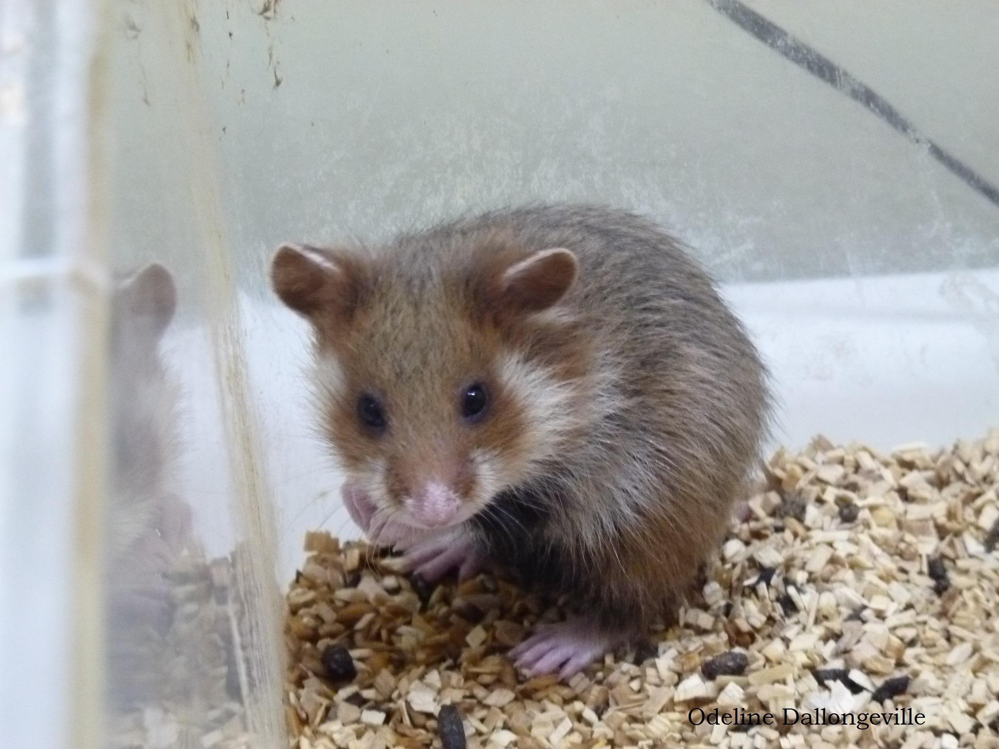 Jeune hamster âgé de 26 jours