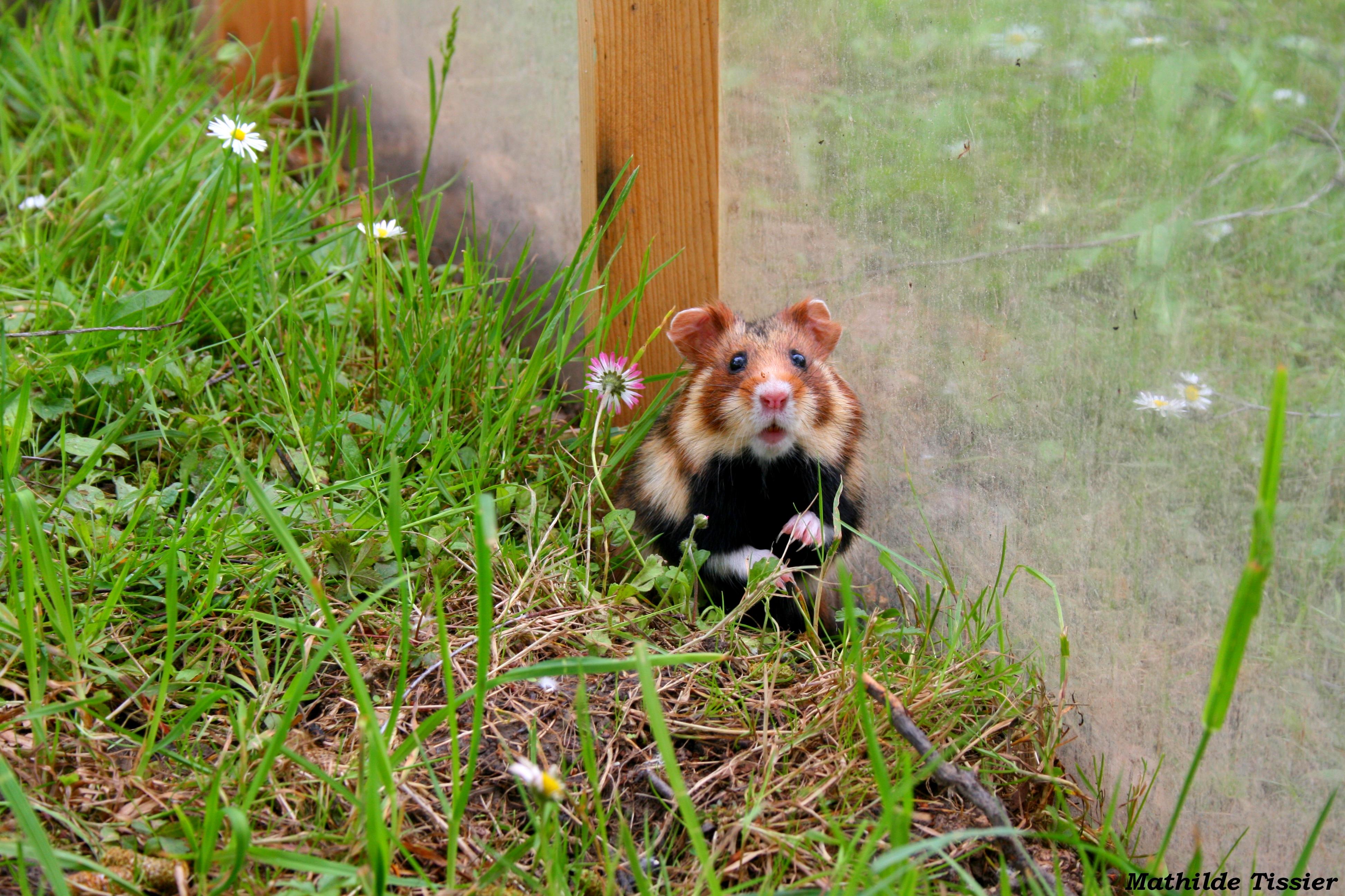 Découverte du milieu extérieur en enclos chez une femelle d'un an avant réintroduction