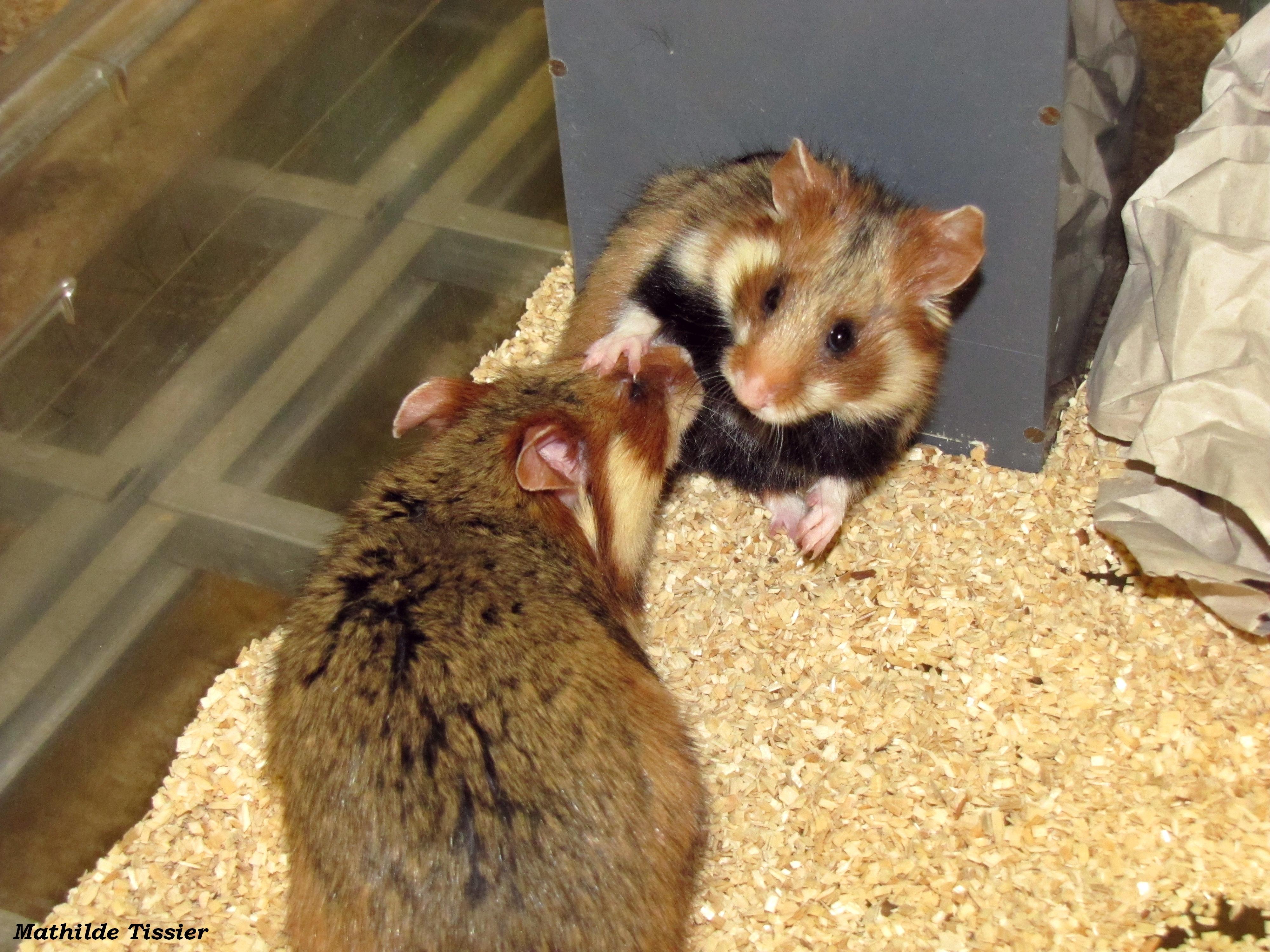 Rencontre entre un mâle et une femelle dans un élevage