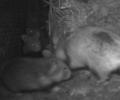 Erster Wurf von in Halbgefangenschaft geborener Hamster