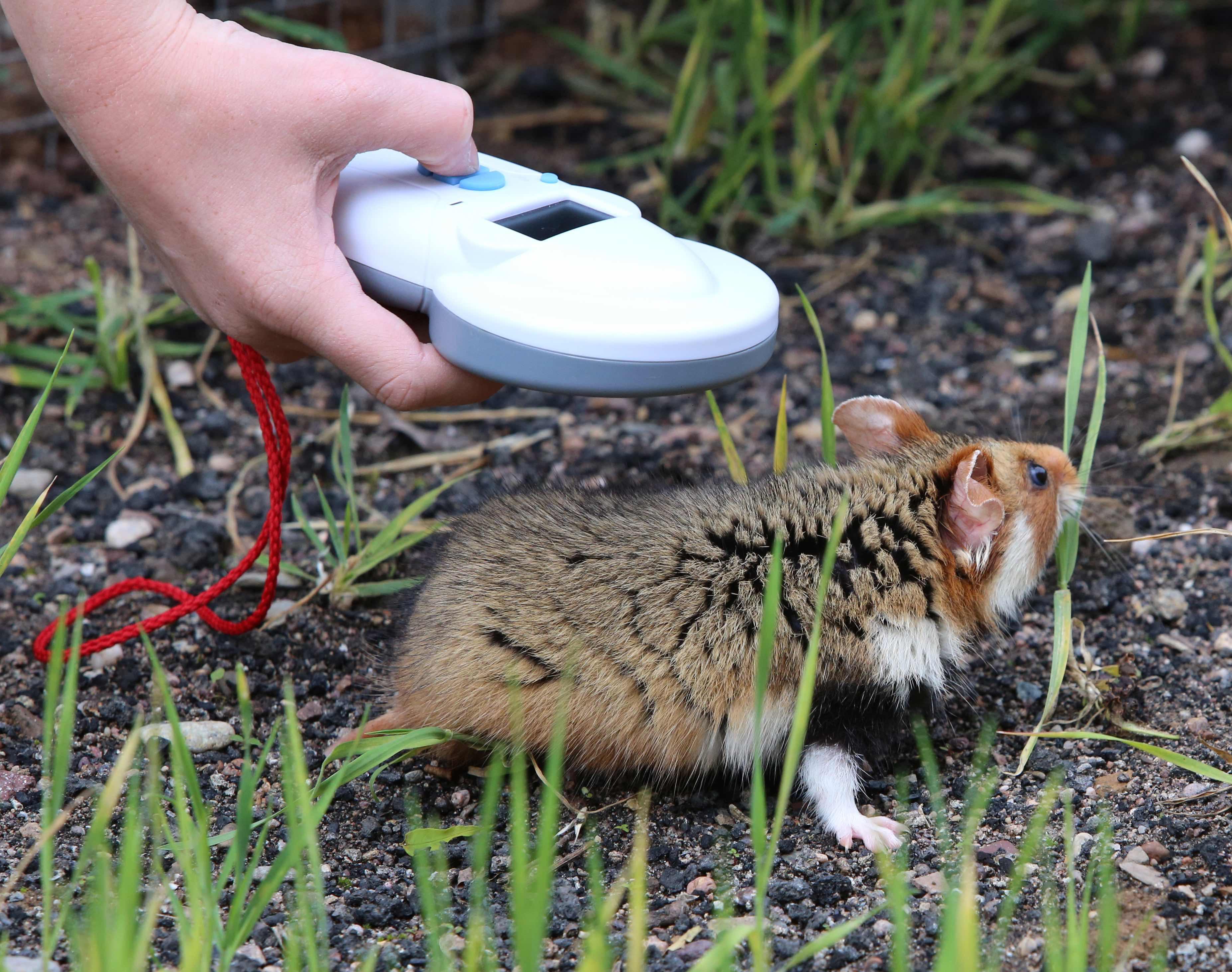 L'actualité de la protection animale Grand-Hamster-LIFE-Alister
