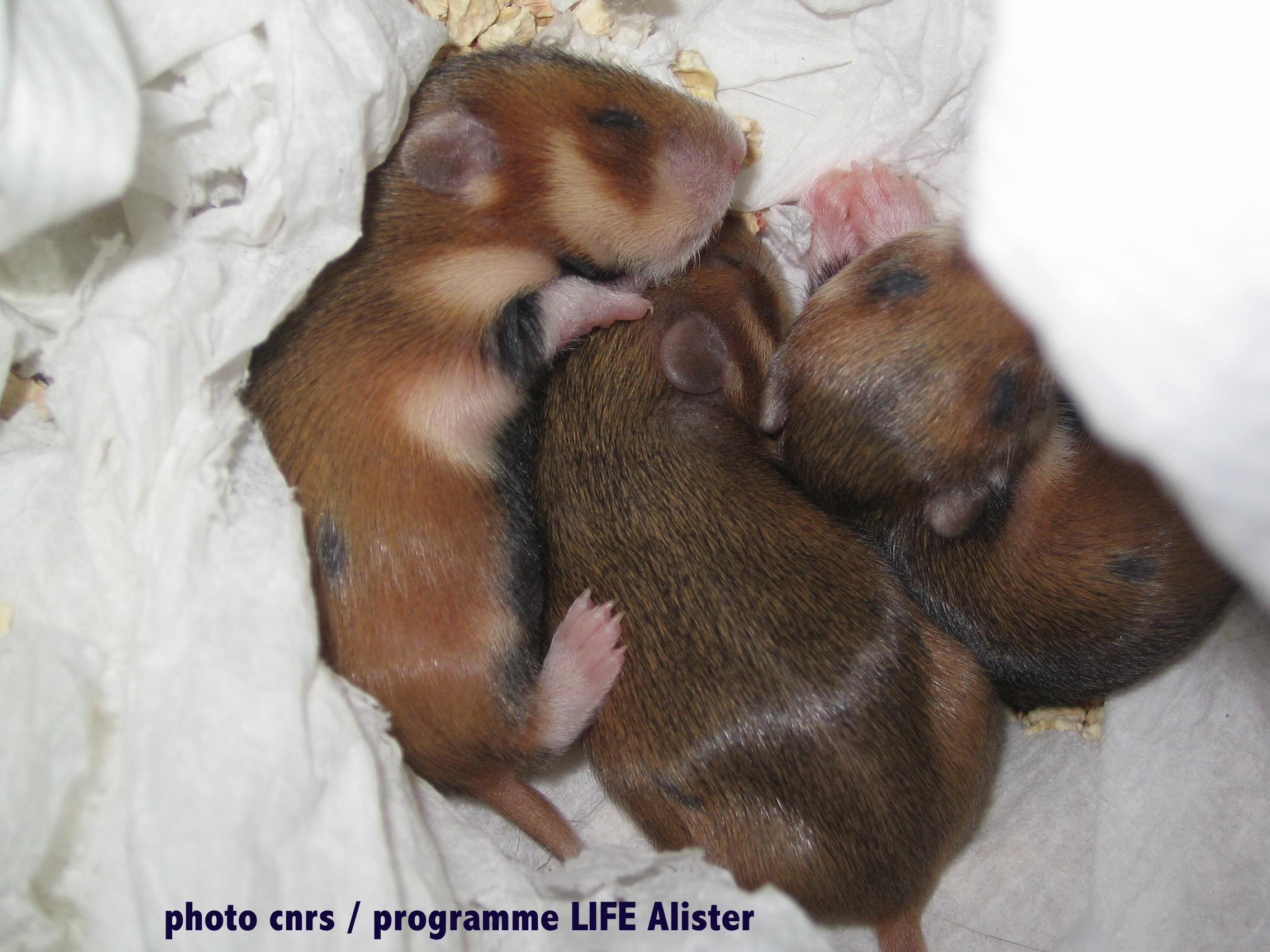 BB hamster
