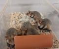 Une étude du CNRS renforce l'intérêt des intercultures pour le Grand hamster