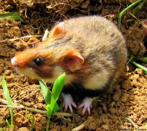 hamster-femelle-champs