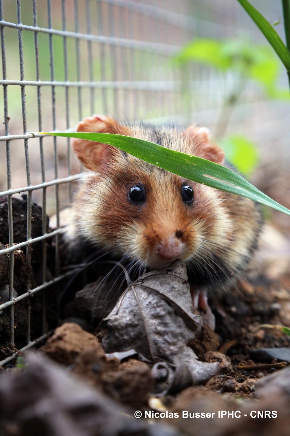 hamster-feuille