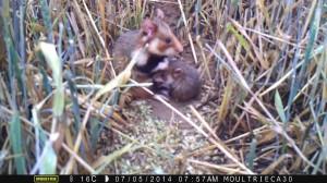 tetee-hamster