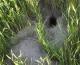 Comment reconnaitre les indices de présence de Grand hamster?