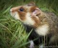 Le suivi des Grands hamsters par les comptages des terriers
