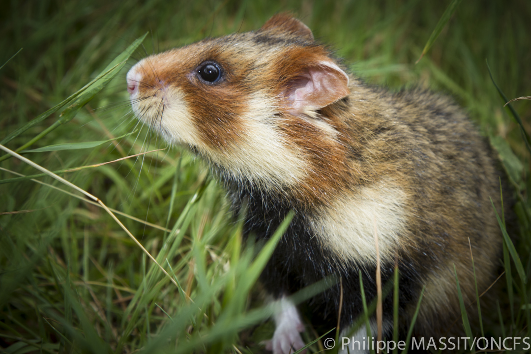 hamster herbe