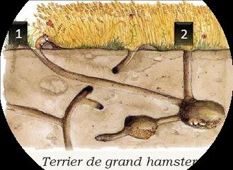 Schema-terrier_Hamster