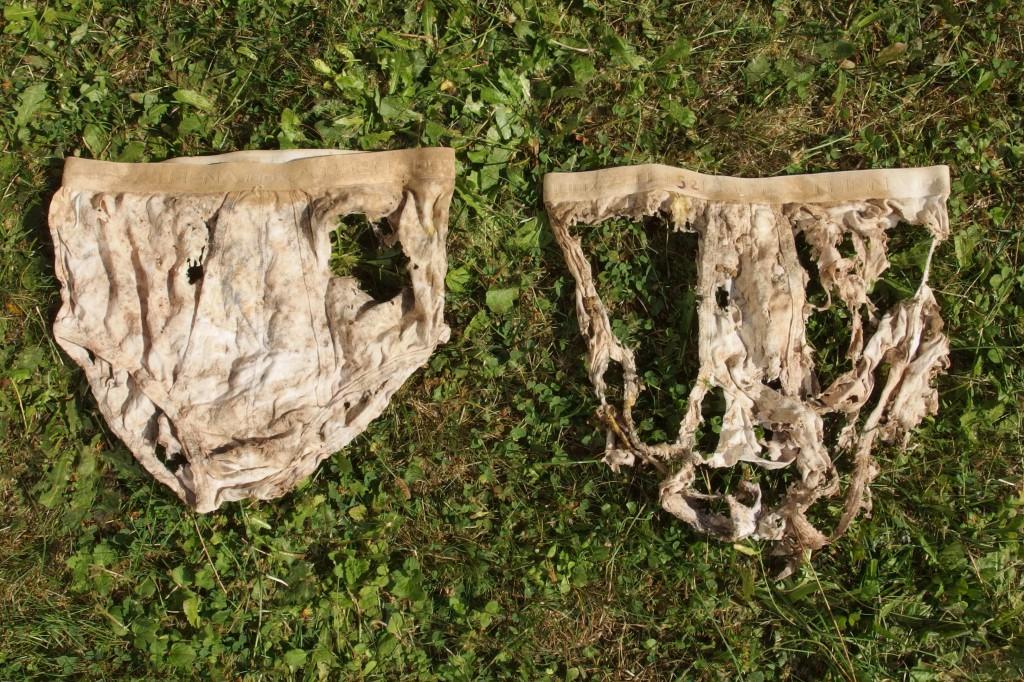 Culture de blé – précédent pomme de terre – sans couvert d'interculture après récolte des pommes de terre (à gauche) et avec couvert d'interculture après récolte des pommes de terre (à droite) – photo Baptiste Fajfer / CAA.